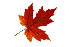 2唯一更改的颜色秋天叶子的槭树 免版税库存图片