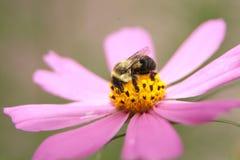 2土蜂 免版税库存图片