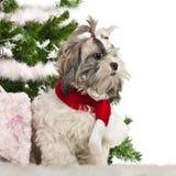 2圣诞节老shih坐的tzu年 库存照片