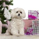 2圣诞节马尔他老结构树年 免版税库存图片