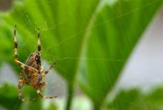 2在蜘蛛之下 免版税库存图片