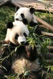 2大熊猫 免版税库存照片