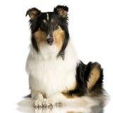 2大牧羊犬年 免版税库存图片