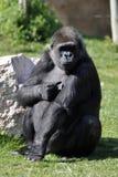 2大猩猩 图库摄影