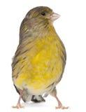 2大西洋canaria黄雀色老雀类年 库存图片