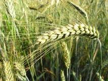 2大麦 免版税库存照片