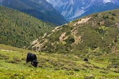 2头吃草的高地西藏人牦牛 图库摄影