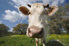 2头母牛凝视白色 库存图片