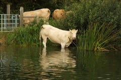 2头母牛去的桨 库存图片