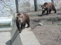 2头熊走 免版税库存照片