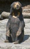2头熊马来亚星期日 免版税库存图片