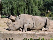 2头犀牛动物园 免版税库存图片