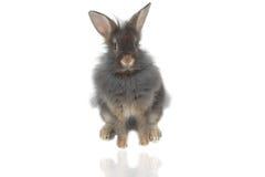 2头狮子兔子 免版税库存照片