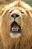 2头狮子男 免版税库存图片