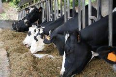 2头繁殖的牛 免版税库存图片