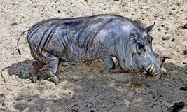 2头肉猪疣 库存照片