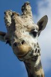 2头长颈鹿纵向 免版税库存图片