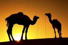 2头骆驼剪影  免版税图库摄影