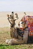 2头骆驼摆在 免版税图库摄影