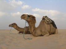 2头骆驼 库存图片