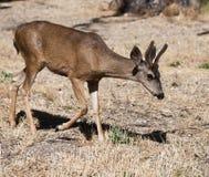 2头鹿 免版税库存图片