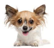 2奇瓦瓦狗位于的老年 免版税库存图片