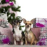 2奇瓦瓦狗圣诞节老结构树年 图库摄影