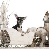 2奇瓦瓦狗圣诞节老雪橇年 免版税库存图片