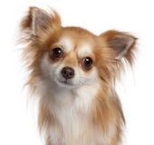 2奇瓦瓦狗接近的老年 免版税库存图片