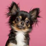 2奇瓦瓦狗接近的老年 免版税库存照片