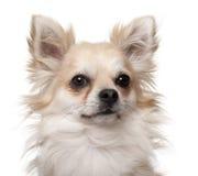 2奇瓦瓦狗接近的老年 免版税图库摄影