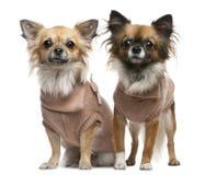 2奇瓦瓦狗穿戴了老岁月 免版税库存照片