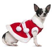 2奇瓦瓦狗穿戴了老成套装备圣诞老人& 免版税图库摄影