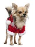 2奇瓦瓦狗穿戴了老成套装备圣诞老人& 库存图片