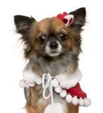 2奇瓦瓦狗穿戴的老成套装备圣诞老人& 库存图片