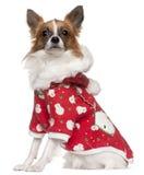 2奇瓦瓦狗老成套装备佩带的冬天年 免版税库存图片