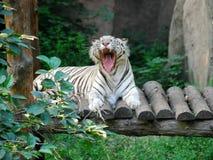 2孟加拉老虎白色 库存图片