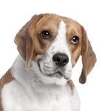 2小猎犬几年的接近的顶头老s 免版税库存图片