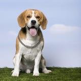 2小猎犬老年 免版税库存照片