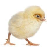 2小鸡日年纪 免版税库存图片