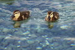 2小鸭子 免版税图库摄影