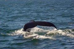 2尾标鲸鱼 免版税库存照片