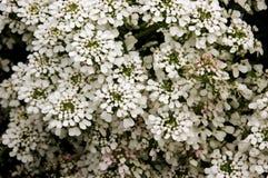 2屈曲花属植物sempervirens雪花 图库摄影