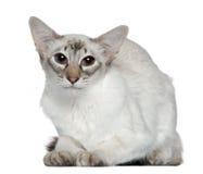 2巴厘语猫老年 免版税库存照片