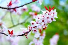2开花樱桃树 免版税库存照片