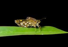 2把刀片小蝴蝶的草 免版税图库摄影