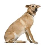 2拉布拉多老猎犬坐的年 免版税库存图片