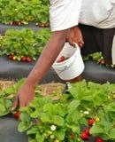 2挑库员草莓 免版税图库摄影