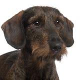 2接近的达克斯猎犬老年 库存照片