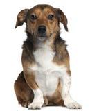 2插孔老罗素坐的狗年 库存照片
